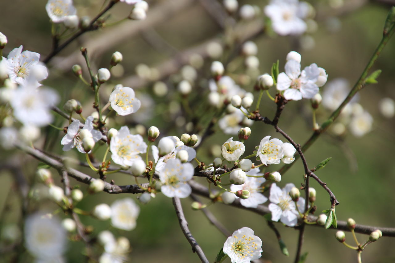 Growth Nature White Color Tree Close-up Blossom Branch Beauty In Nature Twig Springtime Flower Plant Outdoors Almond Tree No People Freshness Flower Head Day Fragility