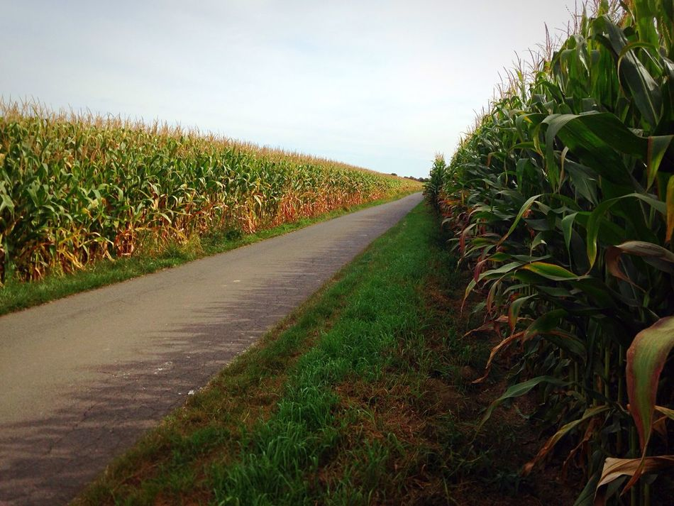 Cornfield Mais Street Plant Field The Way Forward Sky Grass Green Color Nature After The Road Road Long Road