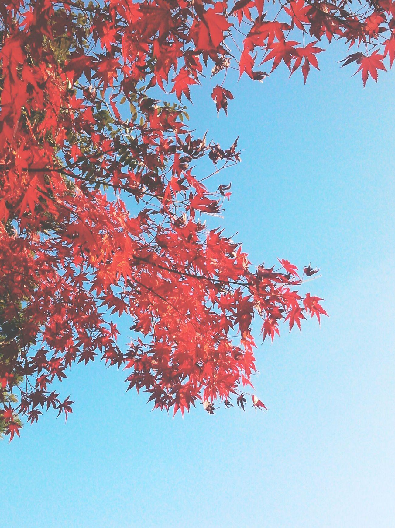 紅葉? JPN Nature Fall Autumn Leaves Red Sky