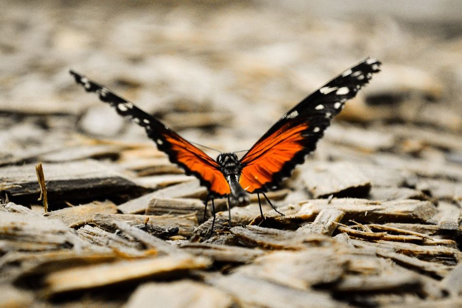 Butterfly Animals Nature Orange