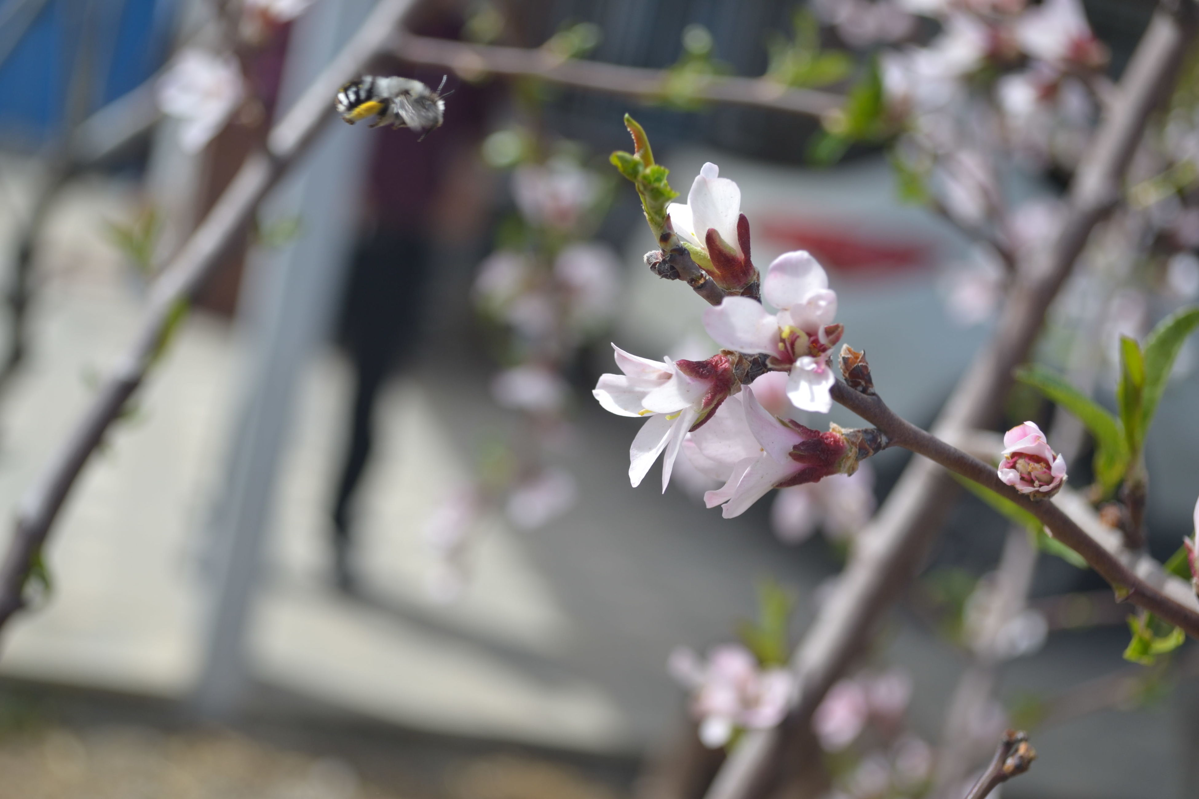 flower, freshness, fragility, growth, beauty in nature, cherry blossom, focus on foreground, branch, petal, nature, tree, blossom, close-up, white color, cherry tree, blooming, in bloom, twig, flower head, springtime