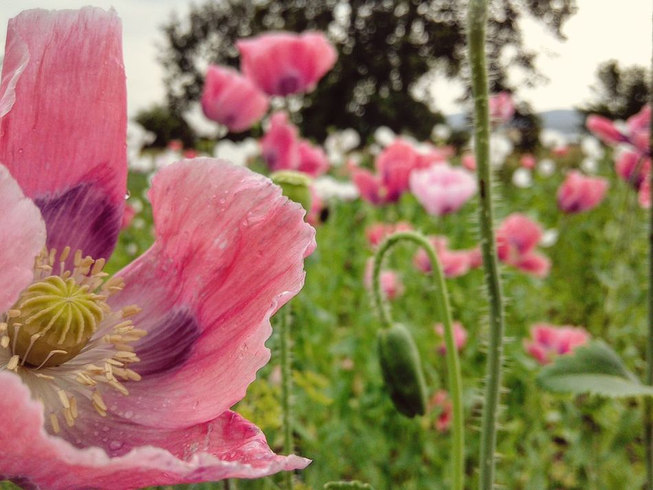 Poppy Field Garden Photography White Flowers Pink Flowers Opium Poppies Garden Treasures Tree Silhouettes Bokeh Raindrops