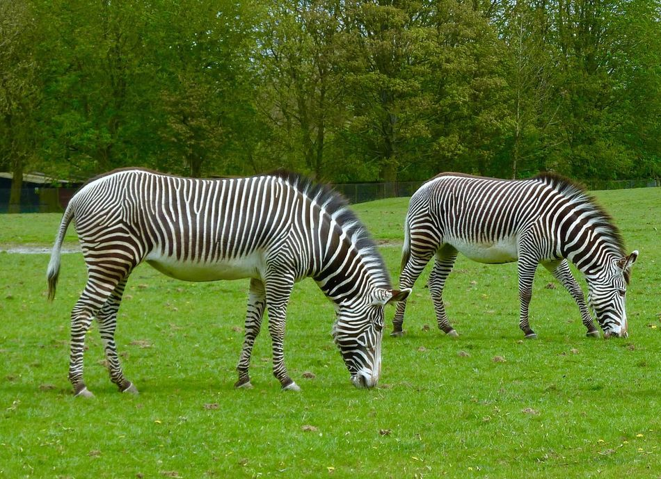 Zebras Whipsnade Zoo Grazing Striped Zebra Grass Animals In The Wild Animal Wildlife Mammal Green Color Animal Themes Nature Outdoors Day Animal Markings No People Safari Animals Tree