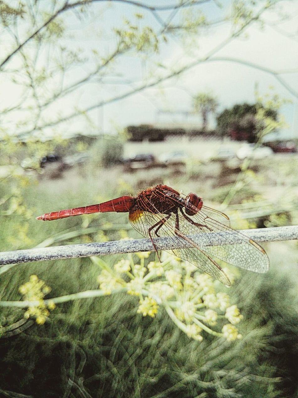 Dragonfly Find7a Oppofind7 Oppo Photographer Oppo Smartphone Macroshot Oppomacroshot Cavagrande