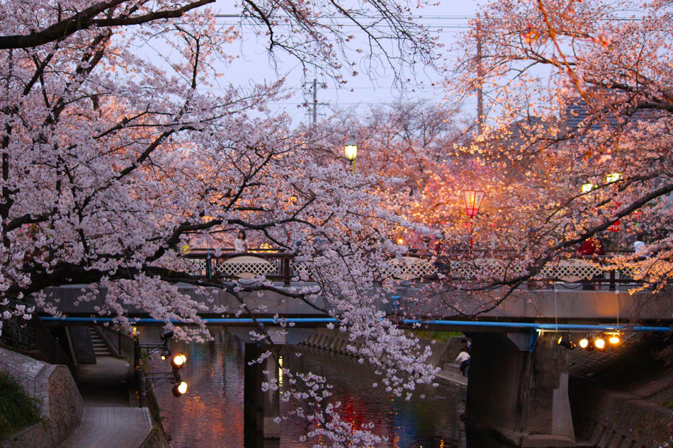 Beauty In Nature Blossom Branch Built Structure Cherry Blossom Dusk Flower Freshness Growth Illuminated Nature Night No People Outdoors Sky Springtime Tree