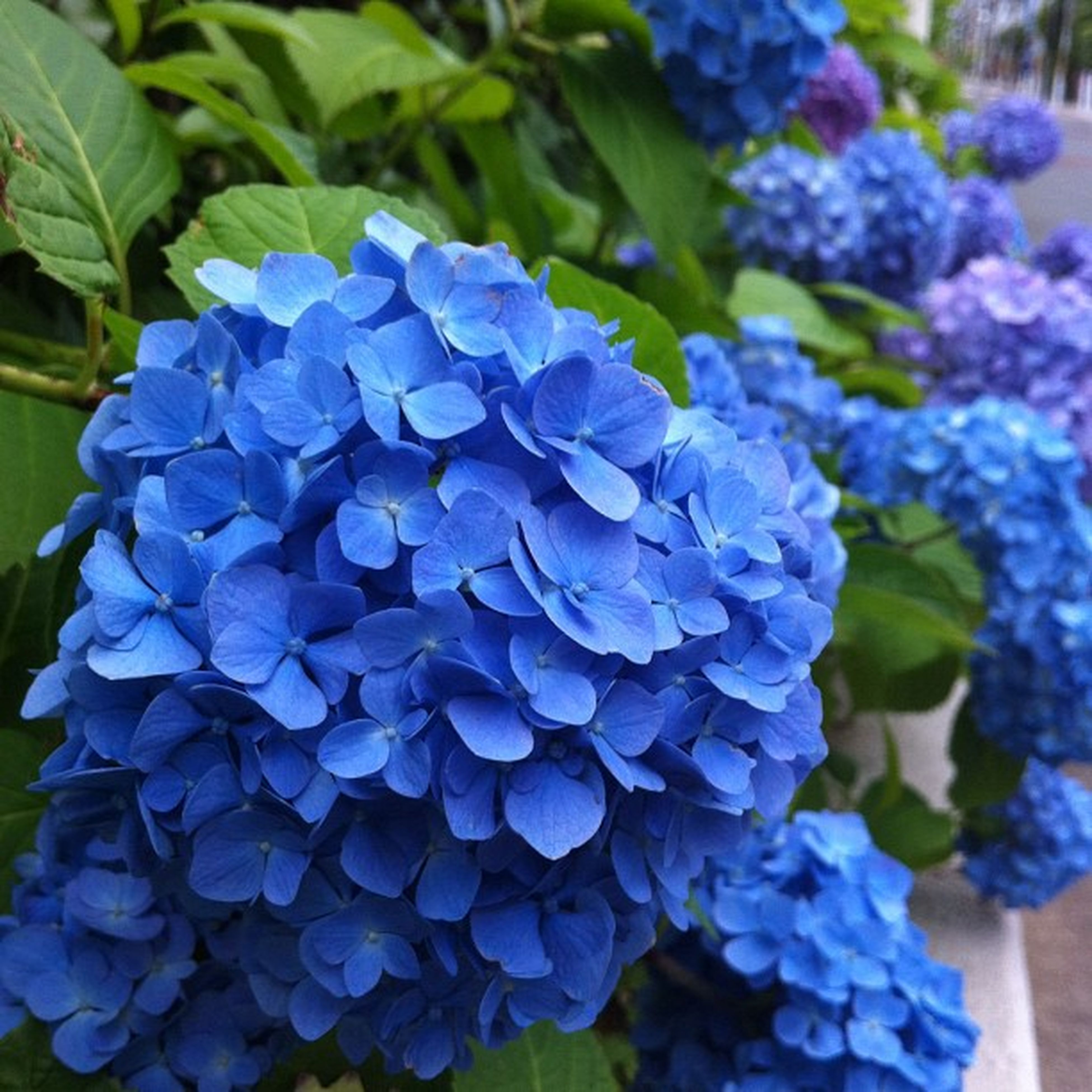 flower, purple, freshness, fragility, growth, petal, beauty in nature, flower head, plant, blue, leaf, close-up, nature, blooming, hydrangea, focus on foreground, park - man made space, in bloom, botany, high angle view