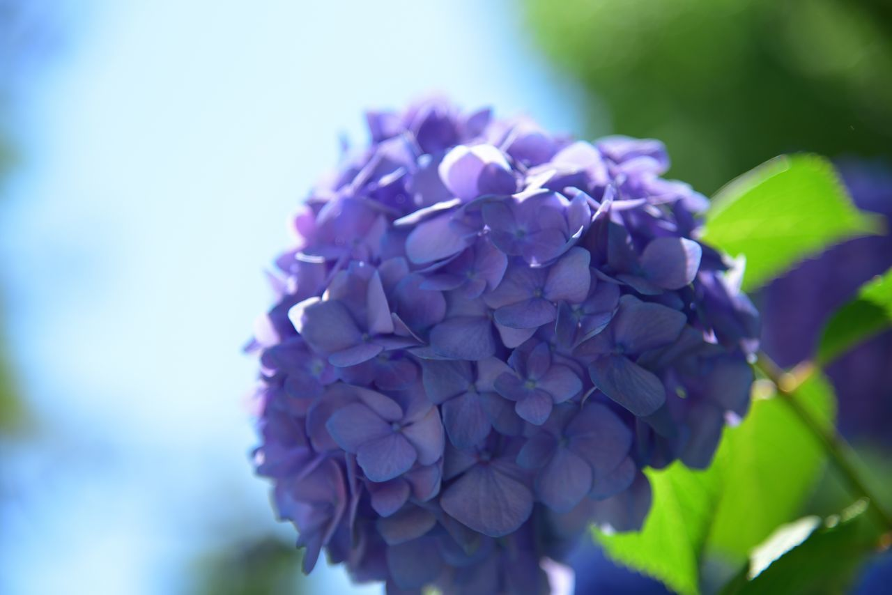 flower, beauty in nature, fragility, nature, petal, freshness, purple, hydrangea, growth, close-up, focus on foreground, no people, day, plant, outdoors, lilac, flower head, blooming