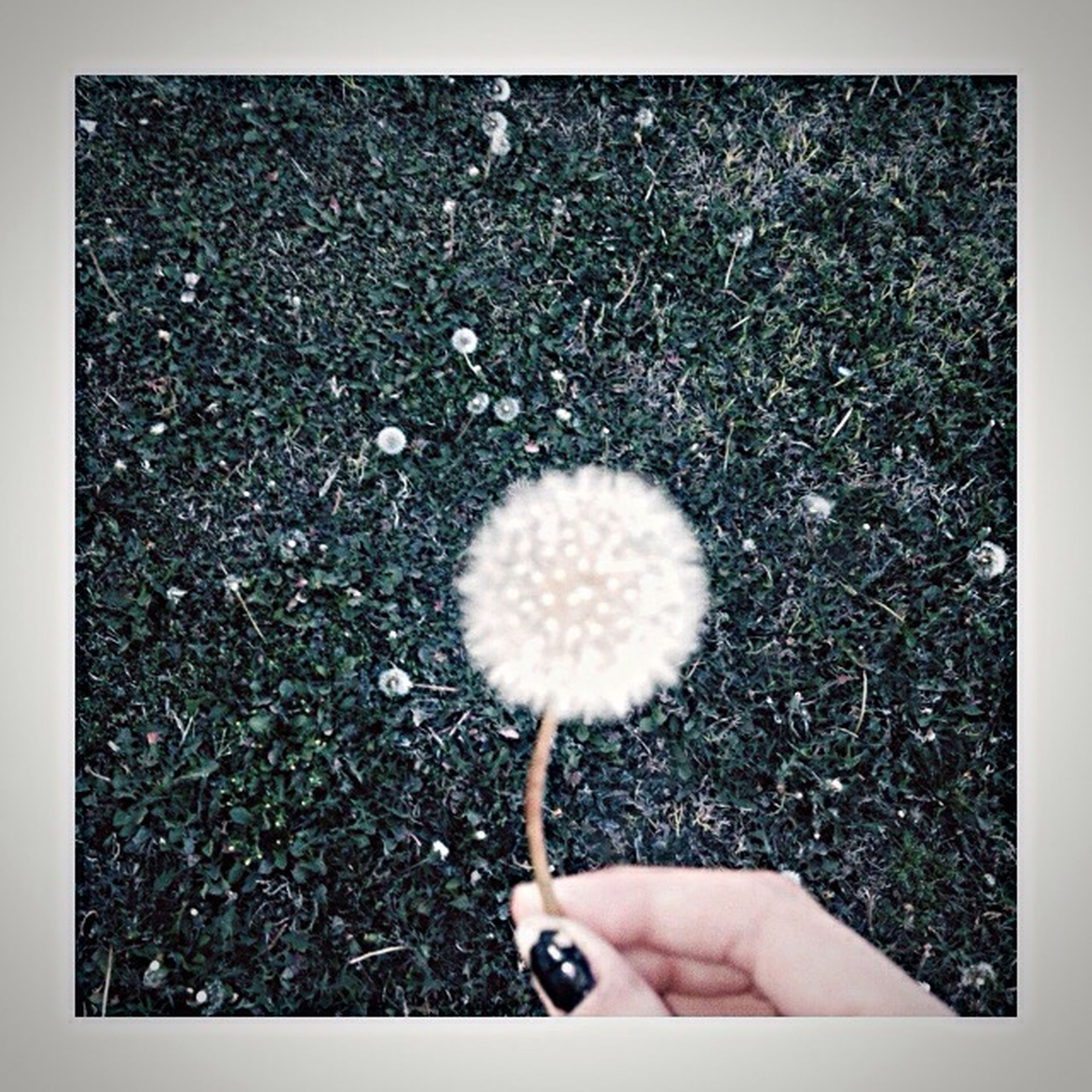 person, flower, holding, dandelion, personal perspective, fragility, part of, unrecognizable person, single flower, white color, lifestyles, human finger, flower head, freshness, cropped, leisure activity, close-up
