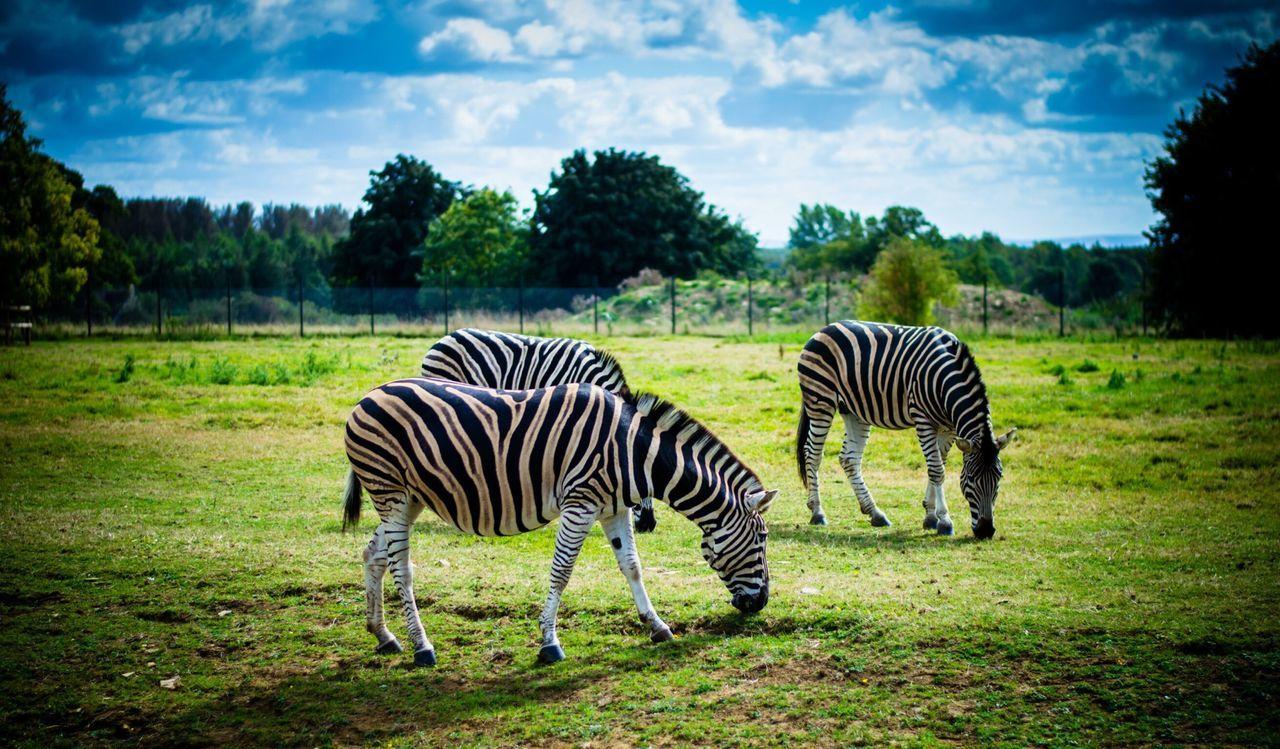 Zebra EyeEm Best Shots Popular Photos Animals My Best Photo 2014 Rule Of Thirds