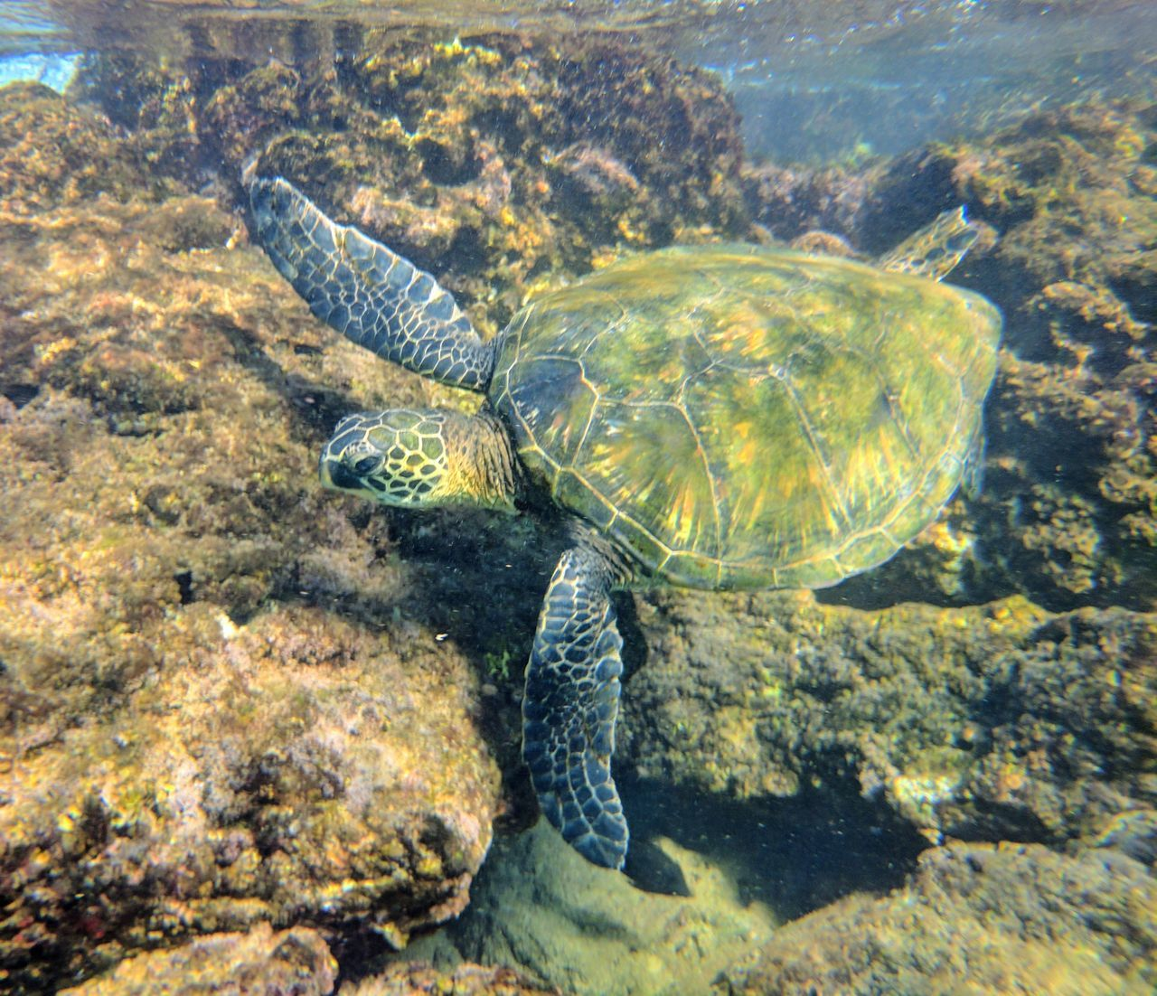 Say thie turtle while snorkeling in Maui, Hawaii. High Angle View Animal Themes Animals In The Wild No People Underwater Nature Sea Life Outdoors Beauty In Nature Day Sea Turtle Reptile Close-up UnderSea
