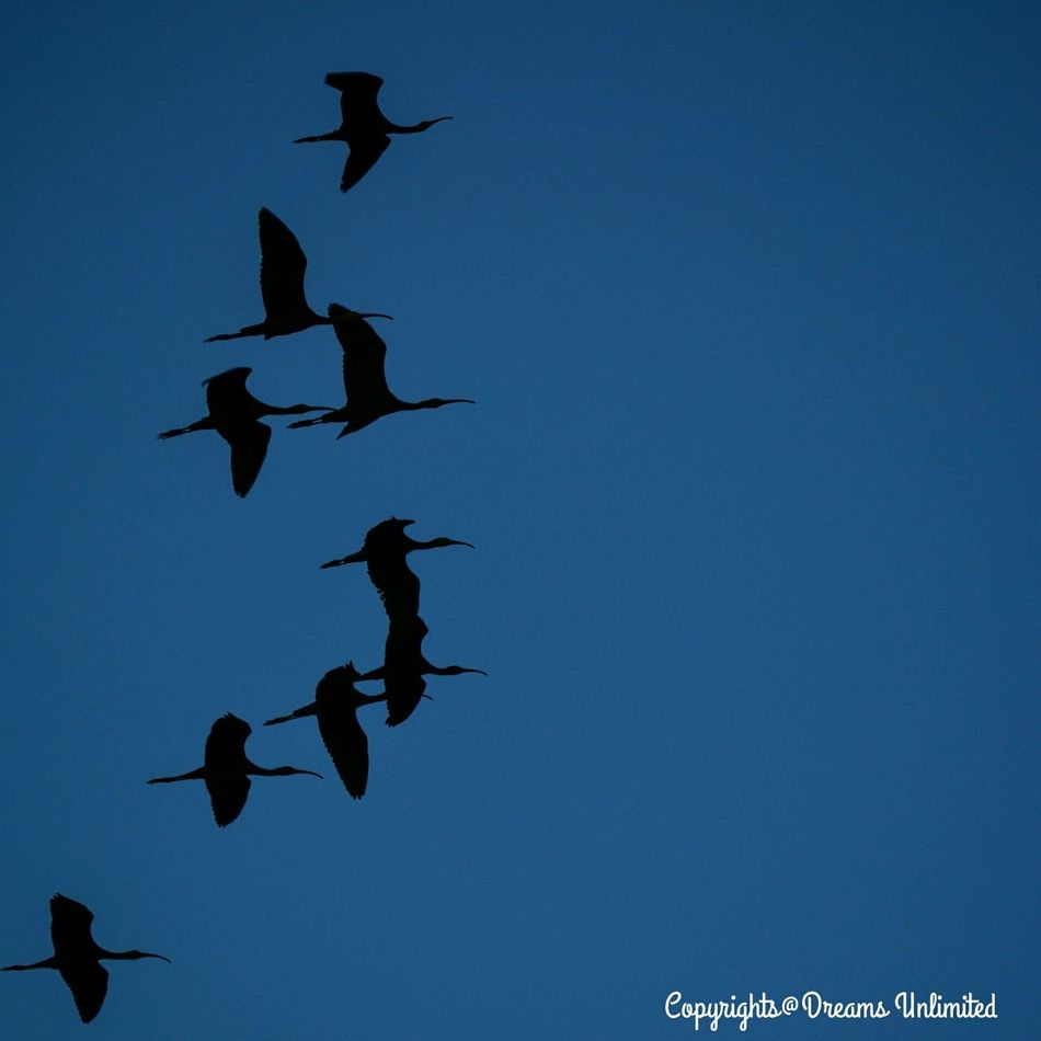 Team of cranes ! Off to home after had a long day for hunting foods ! Captured while off from driving for a while. Taking Photos Birds At Sky Sunset #sun #clouds #skylovers #sky #nature #beautifulinnature #naturalbeauty #photography #landscape Sunset And Birds Bird Photography Birdwatching At Sunset Travel Photography Enjoying The View Miracle Of Routine Life