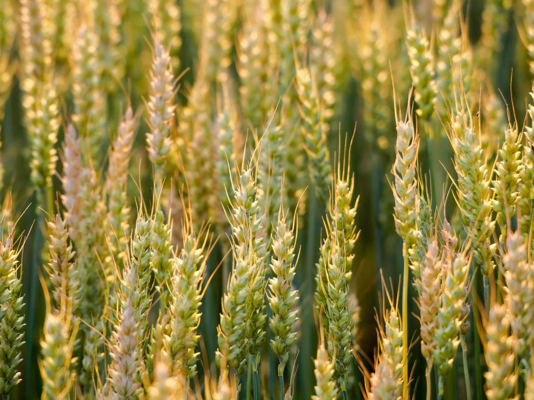 Background of wheat ears in the field. Close up nature photo with idea of a rich harvest and sunlight hitting the grain at low angle. Agriculture Backgrounds Beauty In Nature Cereal Plant Close-up Crop  Environment Farm Field Focus On Foreground Food Food Staple Freshness Gold Colored Growth Nature No People Oat - Crop Outdoors Plant Rural Scene Scenics Summer Tranquil Scene Wheat