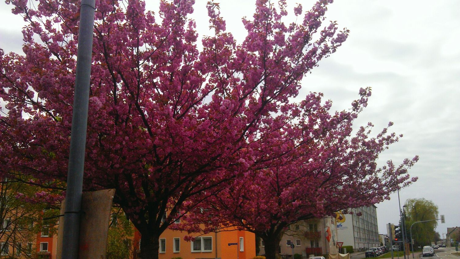 Blossom Tree Allee, second Dream