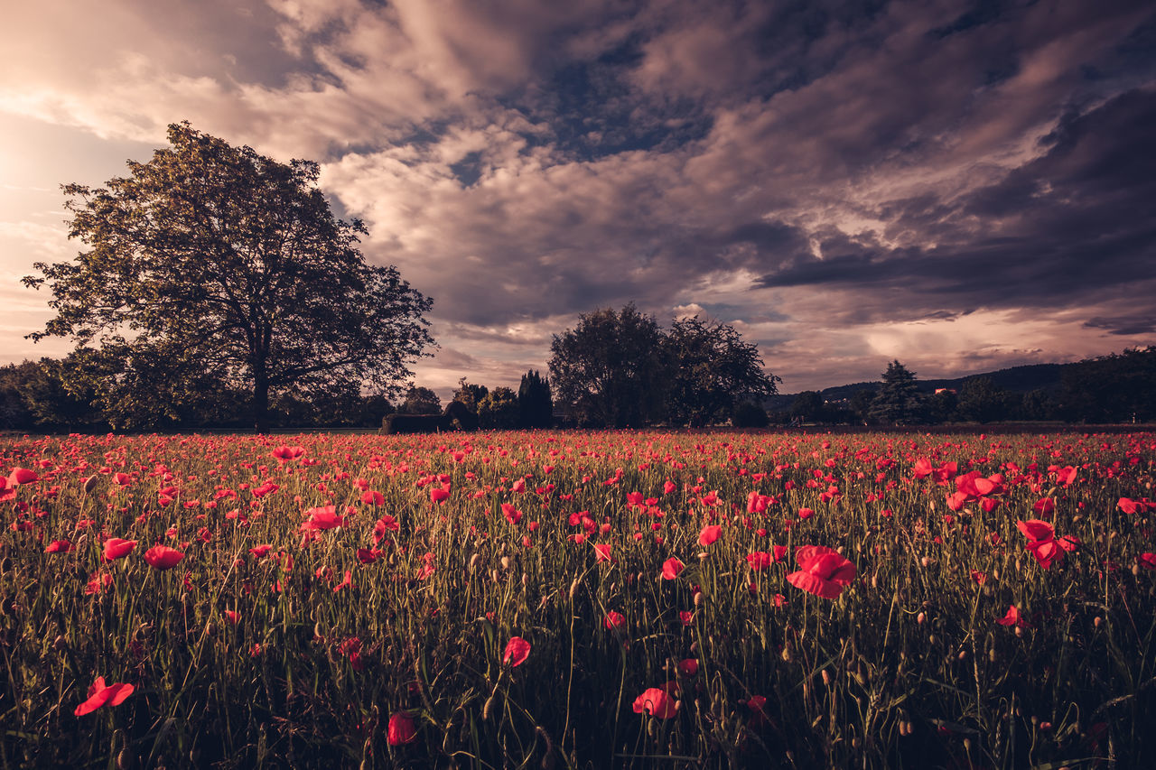 Agriculture Beauty In Nature Blooming Cloud - Sky Day Field Flower Flower Head Fragility Freshness Growth Landscape Nature No People Outdoors Plant Poppy Red Rural Scene Scenics Sky Tranquil Scene Tranquility Tree Weinheim The Great Outdoors - 2017 EyeEm Awards