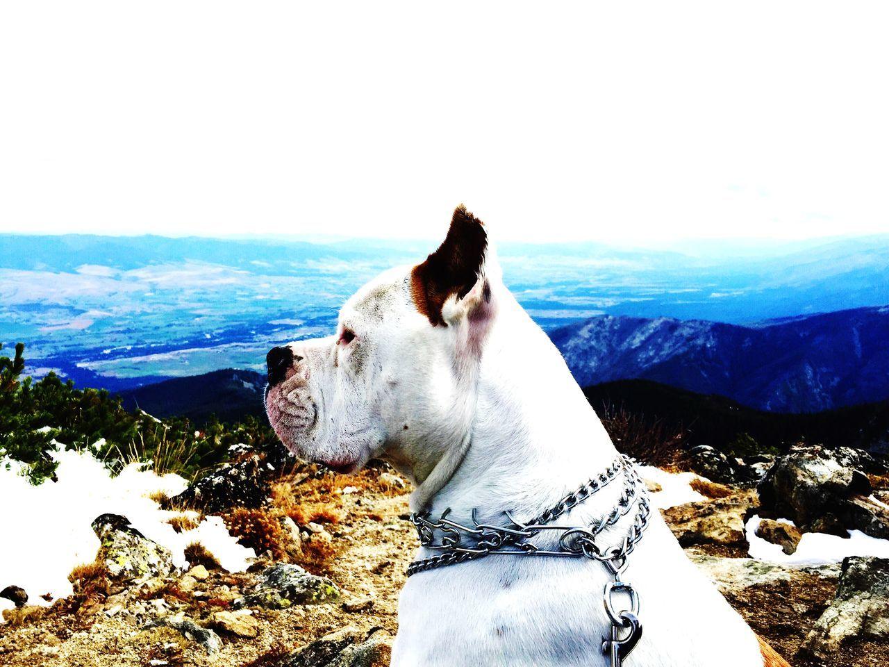 Beautiful stock photos of american bulldog, American Bulldog, Animal Themes, Beauty In Nature, Day