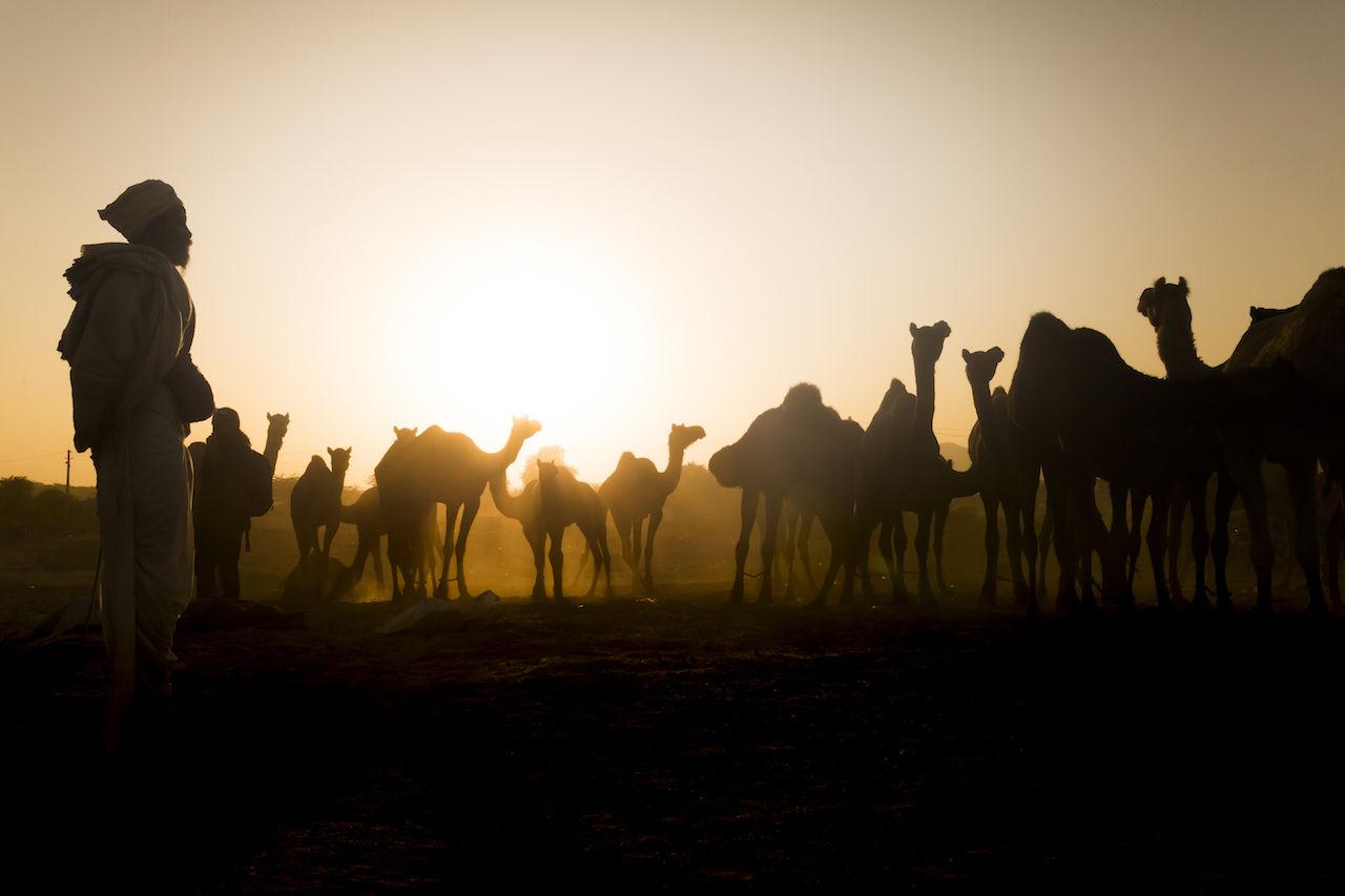 Pushkar, 2016 Camel India Outdoors People Pushkar Pushkarcamelfair Rajasthan Silhouette Sun Sunset Travel Travel Destinations Travel Photography