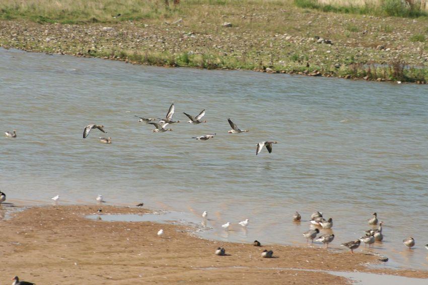 Geese in flight Scorton Birds_collection Bird Photography Nature Photography Nature_collection Nature On Your Doorstep Wildlife Wildlife Photography Wildlife & Nature Streamzoofamily