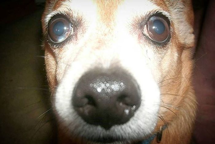 I miss looking into those eyes.. Even though he couldn't see that well. We were blind buddies. Lol. I miss you, chubbs. RestinPeaceBubby Chihuahua Dachshund Bubby Mysatan Imissyou Love Seniorpup