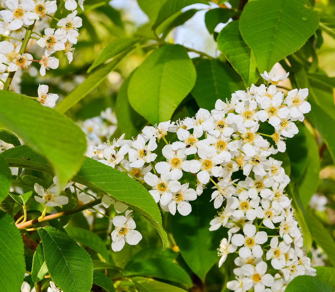 Background of blooming bird cherry in early spring Beauty In Nature Bird Cherry Tree Blooming Blossom Branch Close-up Day Flower Flower Head Fragility Freshness Green Green Color Growth Hackberry Leaf Nature No People Outdoors Petal Plant Springtime Tree White Color White Flower
