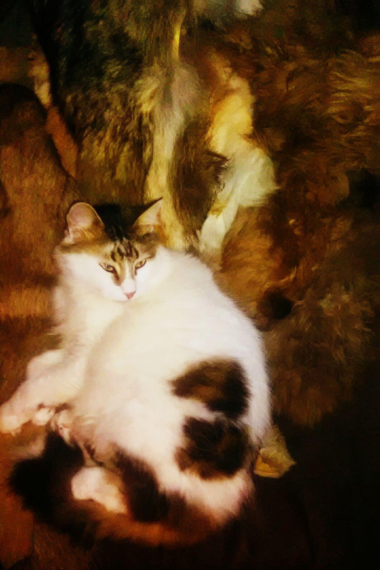 Domestic Cat Animal Themes Feline Pets One Animal Indoors  Fur