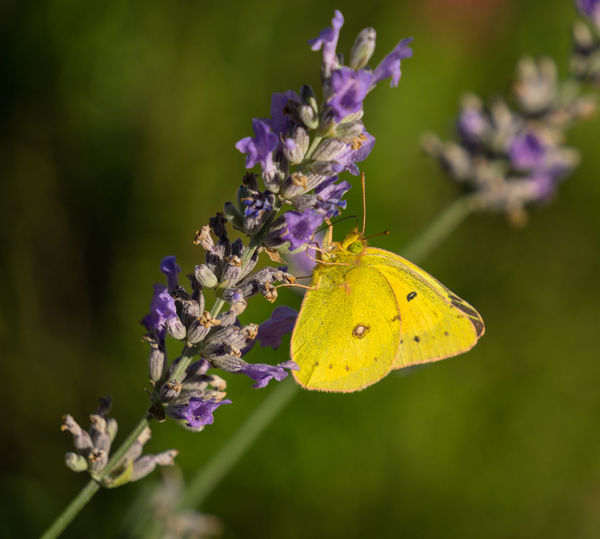Colias Cesonia Southern Dogface Butterfly Animal Themes Animals In The Wild Beauty In Nature Butterfly Butterfly - Insect Close-up Day Flower Flower Head Focus On Foreground Fragility Freshness Growth Insect Lavender Nature No People One Animal Outdoors Petal Plant Pollination Purple Yellow