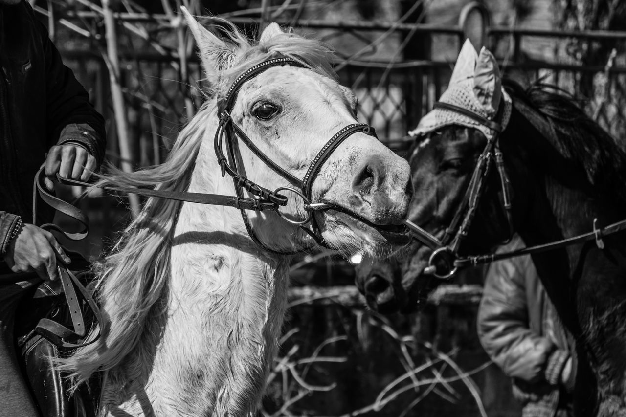 Animal Animal Themes Black Black And White Blackandwhite Bridle Close-up Day Domestic Animals Horse Mammal Nature No People One Animal Outdoors White Working Animal