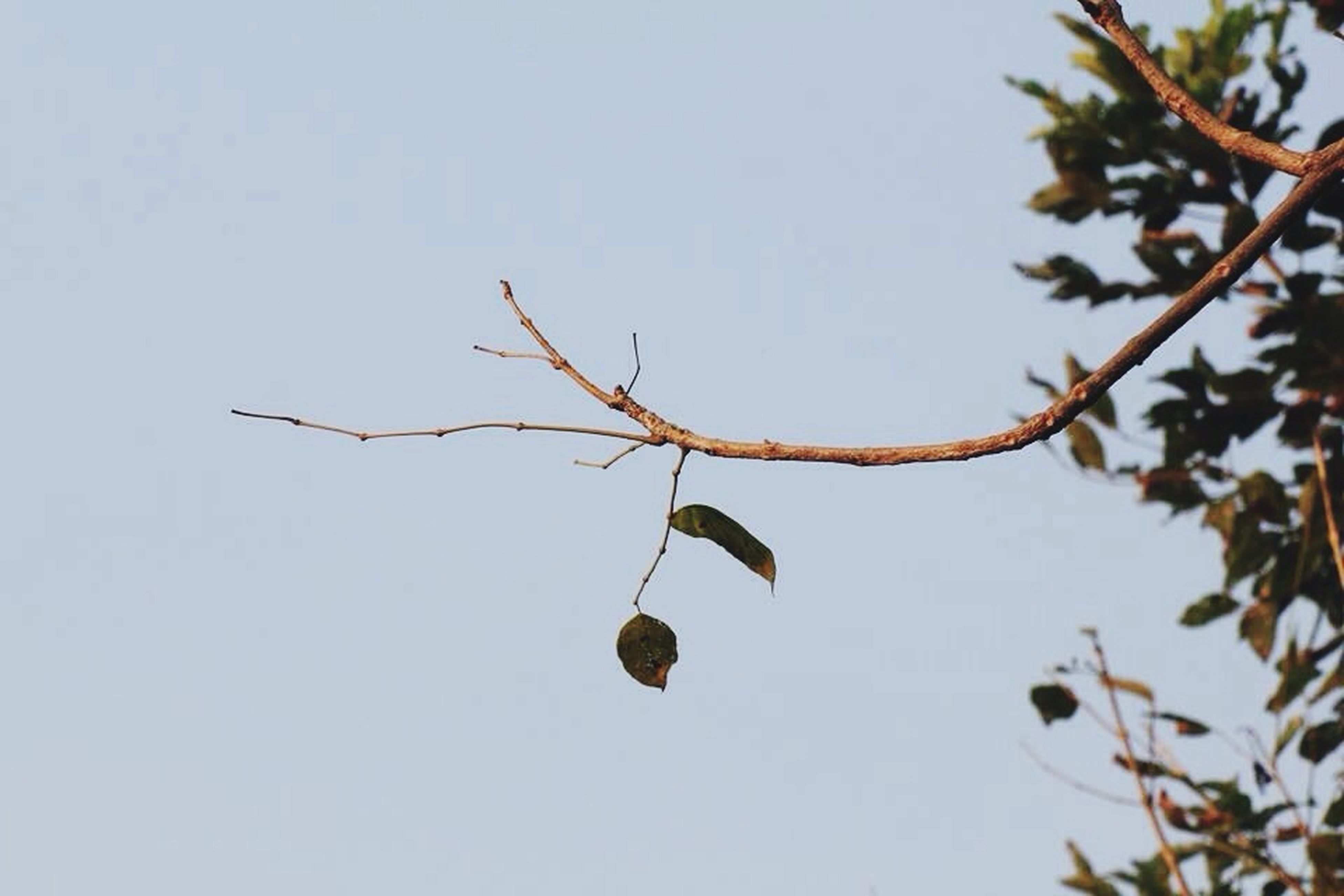branch, clear sky, low angle view, tree, leaf, fruit, growth, twig, nature, copy space, freshness, no people, day, beauty in nature, outdoors, hanging, close-up, food, food and drink, stem