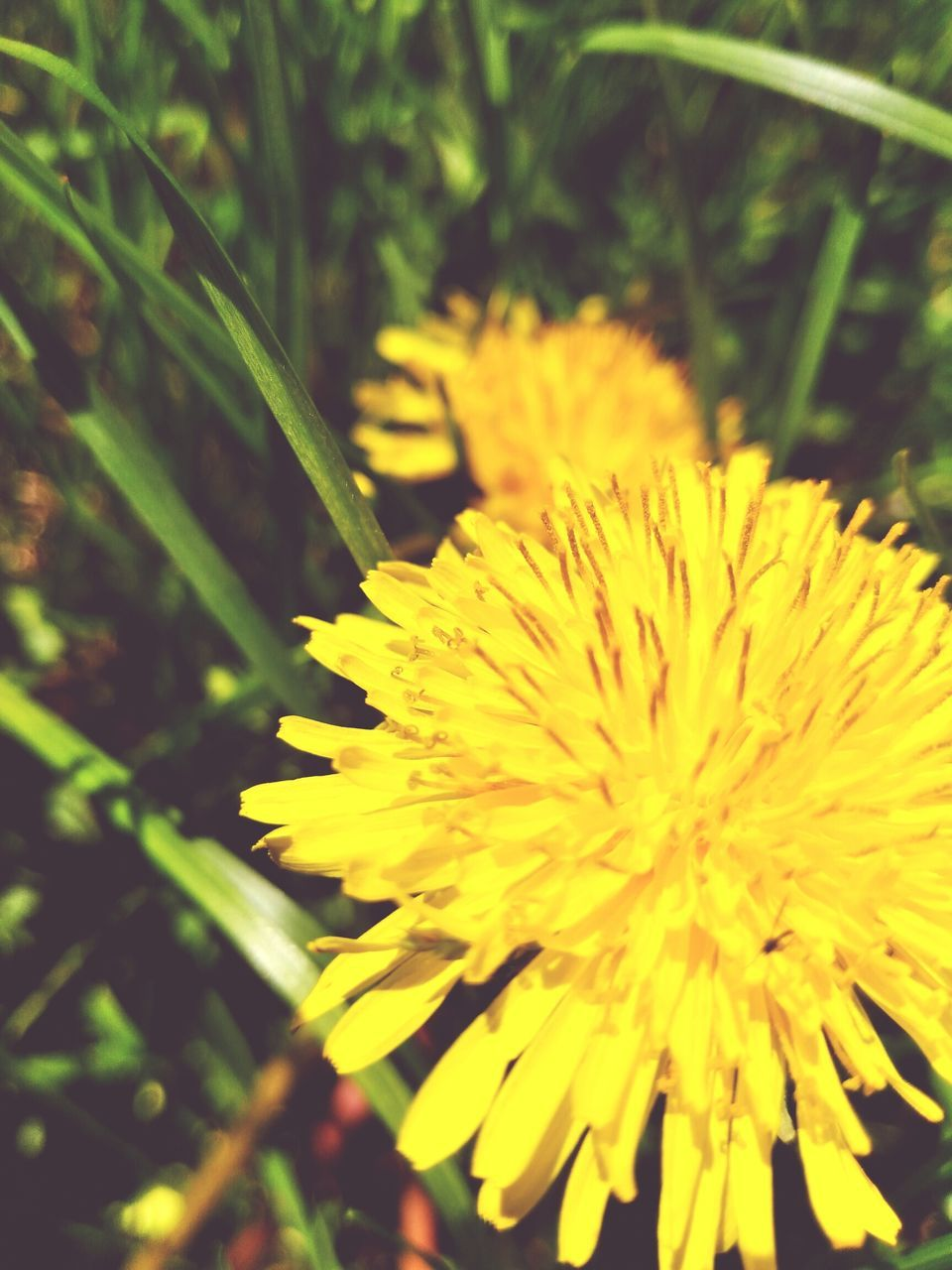 flower, yellow, fragility, nature, beauty in nature, growth, freshness, plant, petal, outdoors, focus on foreground, close-up, flower head, botany, selective focus, day, no people, springtime