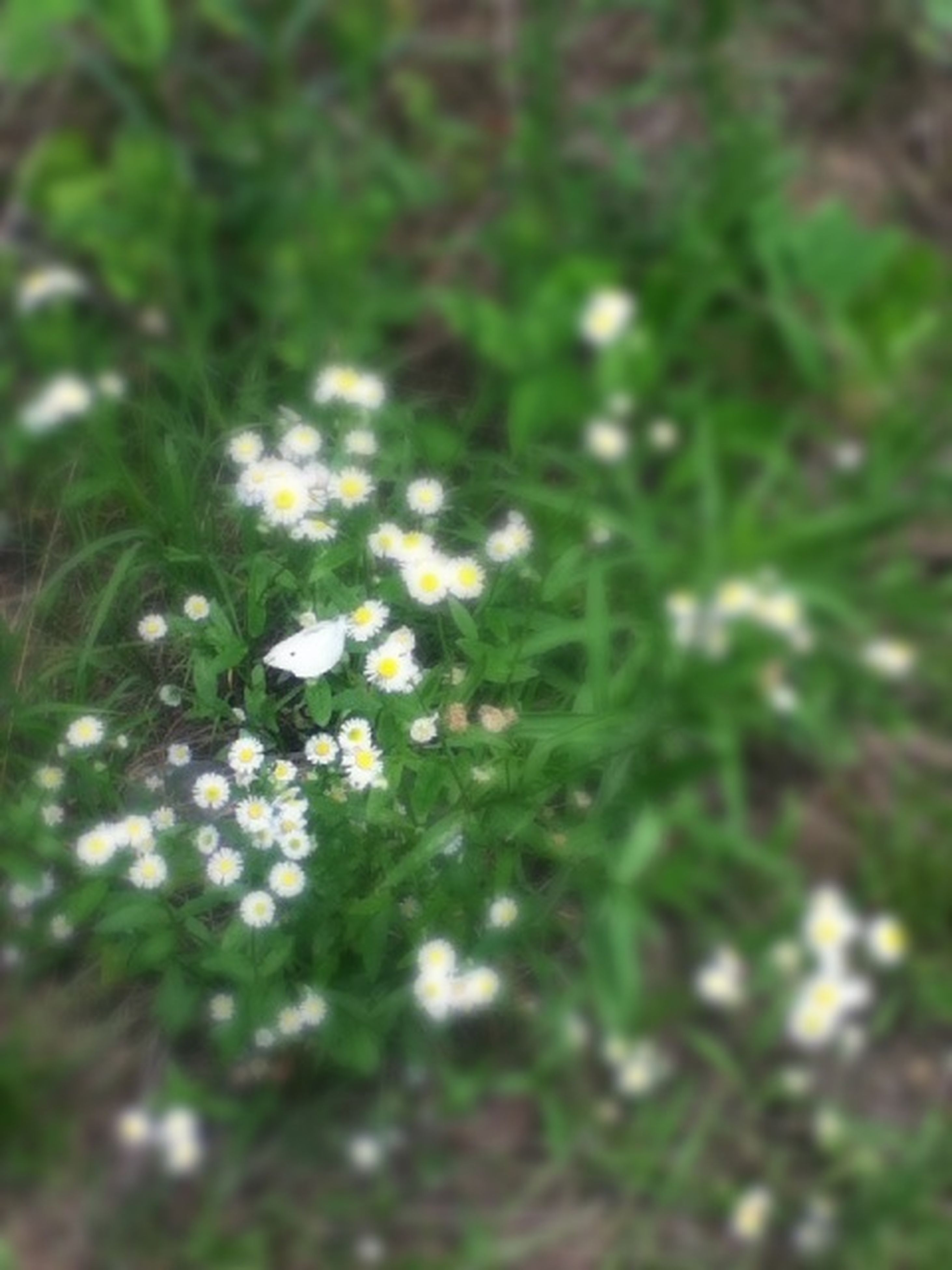 flower, growth, freshness, white color, fragility, beauty in nature, petal, flower head, nature, plant, blooming, field, close-up, focus on foreground, white, selective focus, in bloom, green color, wildflower, day