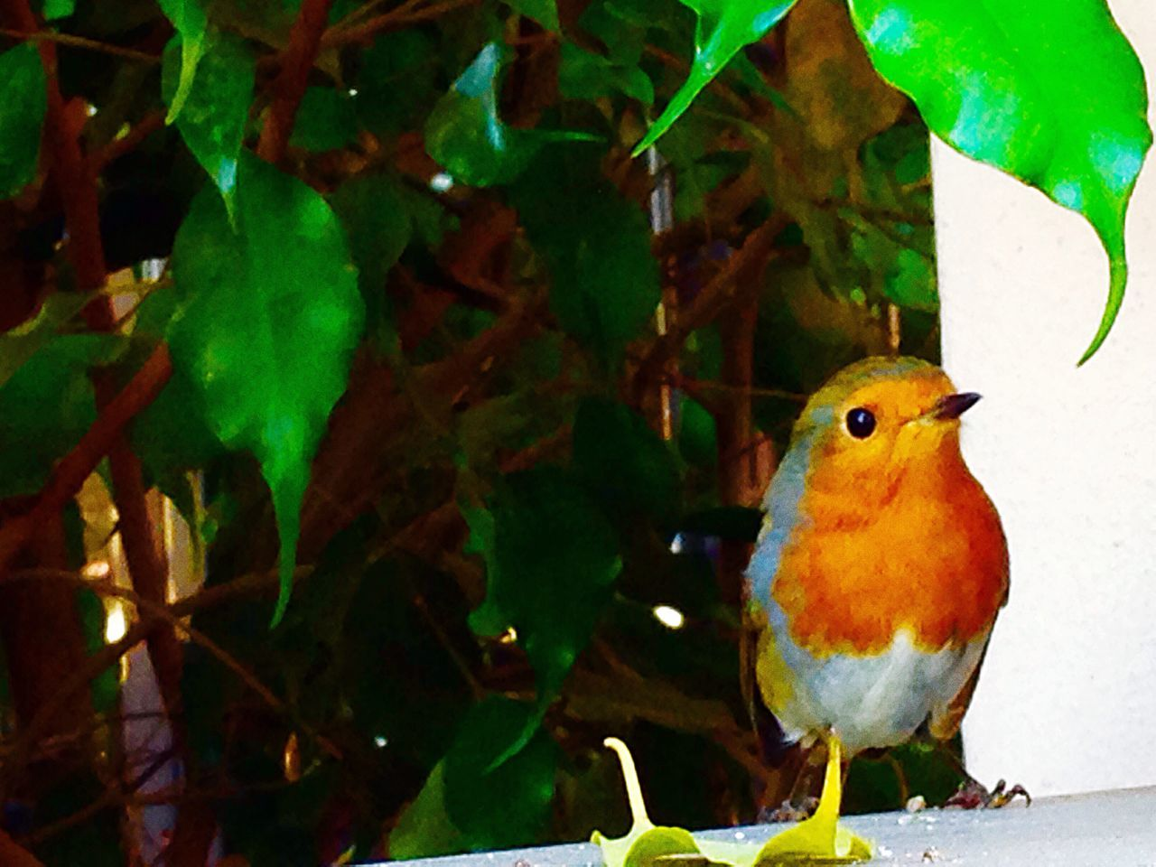 Redbreast 🐦 🔴 🐦 Nature Nature Photography Nature_collection Birds Little Redbreast Myhome Enjoying Life Hello World Taking Photos Cheese!