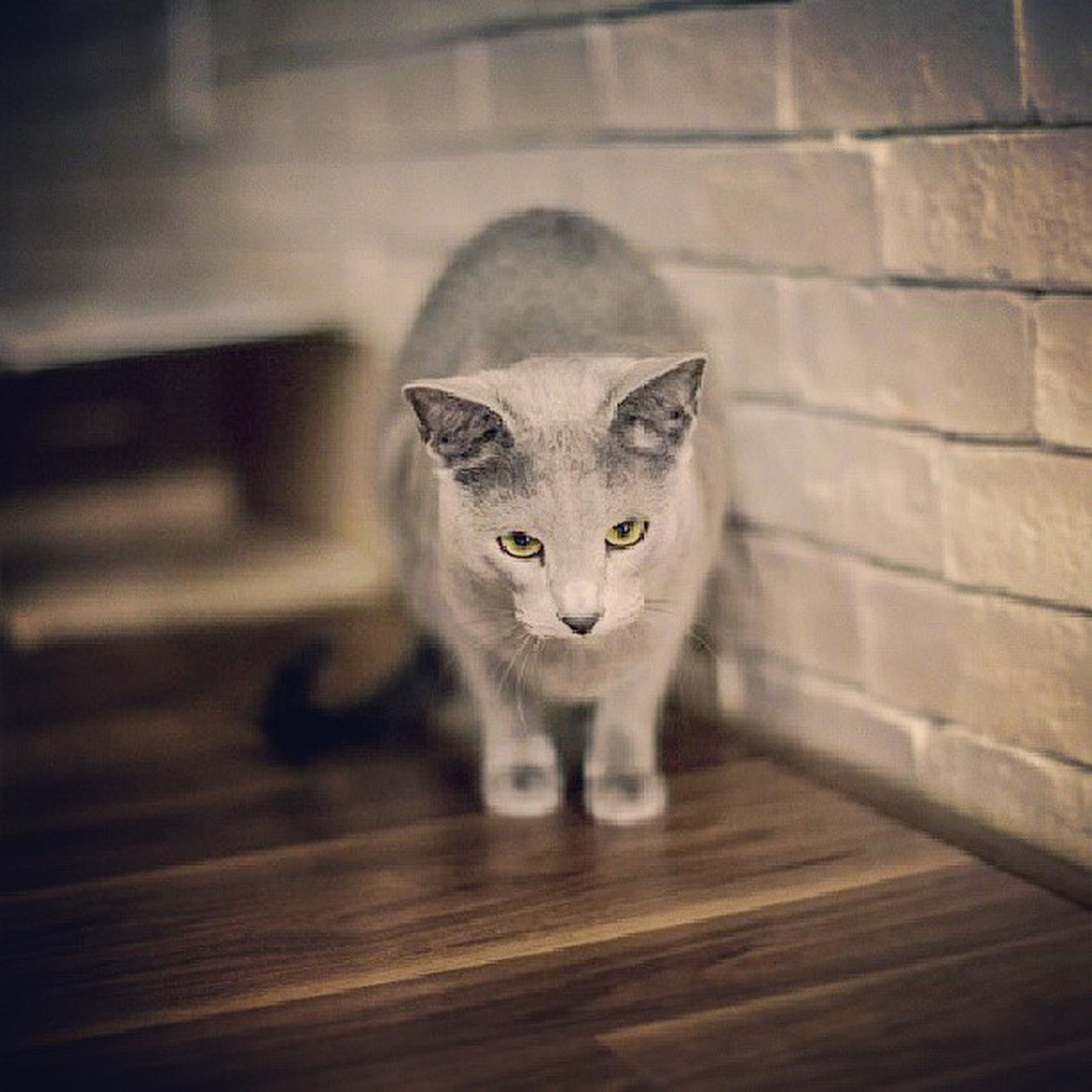 domestic cat, pets, cat, animal themes, domestic animals, looking at camera, portrait, one animal, feline, mammal, whisker, indoors, staring, alertness, front view, wood - material, sitting, close-up, animal eye, animal head