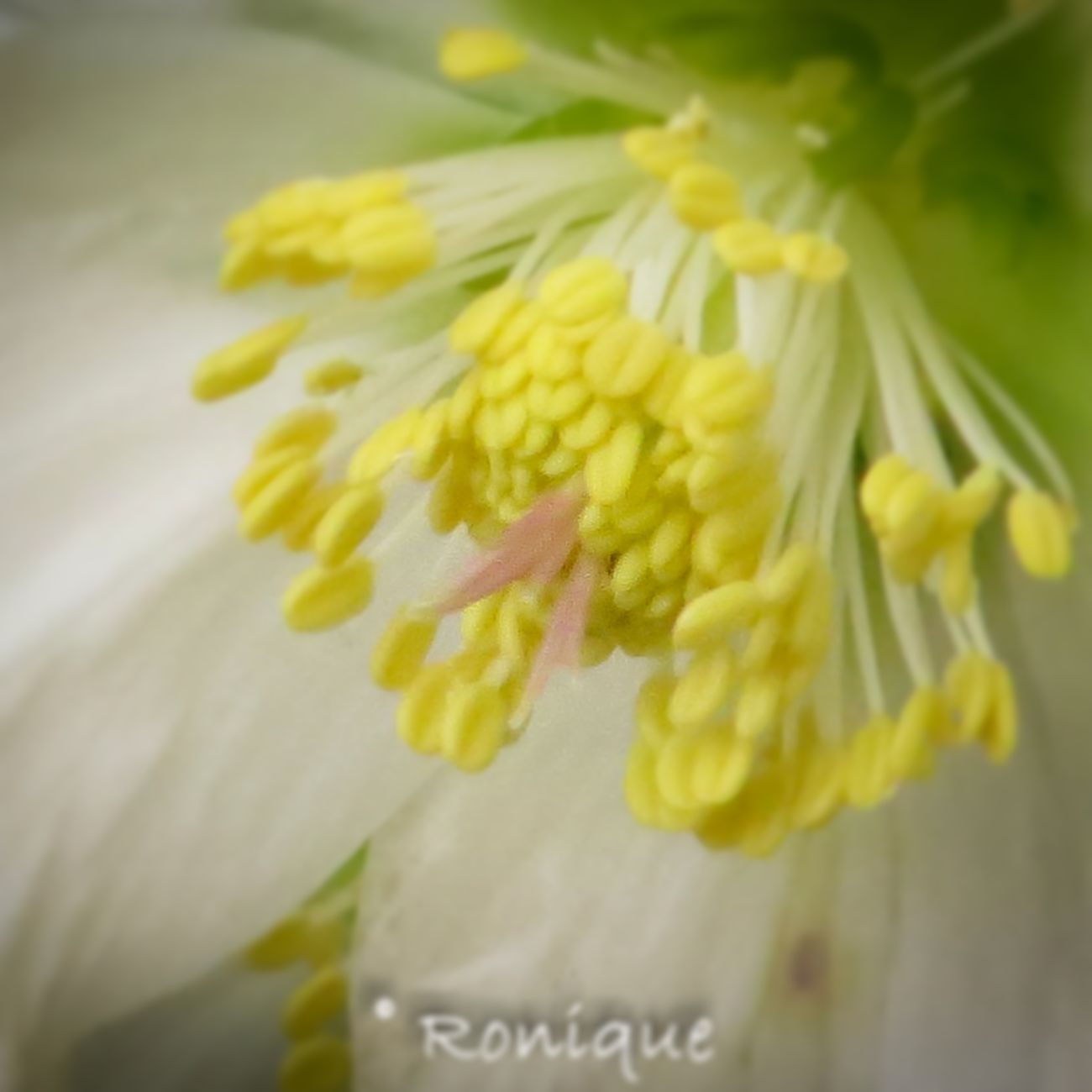 Yellow Flower Close-up Fragility Freshness No People Flower Head Day Nature Beauty In Nature Hellebore Outdoors White Growth White Flower Blooming Blooming Flower Winter Tranquillity Beautiful Nature Winter Blooms Spring Is Coming  Blooming Beauty
