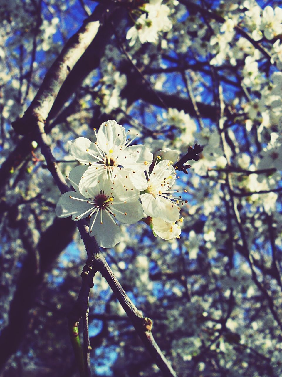 flower, blossom, fragility, tree, growth, branch, beauty in nature, nature, springtime, white color, apple blossom, petal, apple tree, orchard, freshness, botany, flower head, pollen, no people, plum blossom, day, stamen, twig, low angle view, spring, close-up, blooming, outdoors