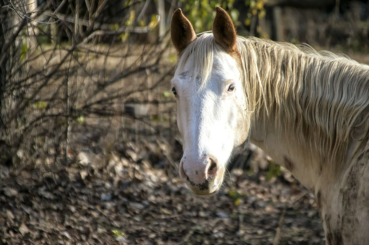 horse, one animal, animal themes, domestic animals, mammal, day, livestock, outdoors, focus on foreground, standing, no people, nature, close-up, tree