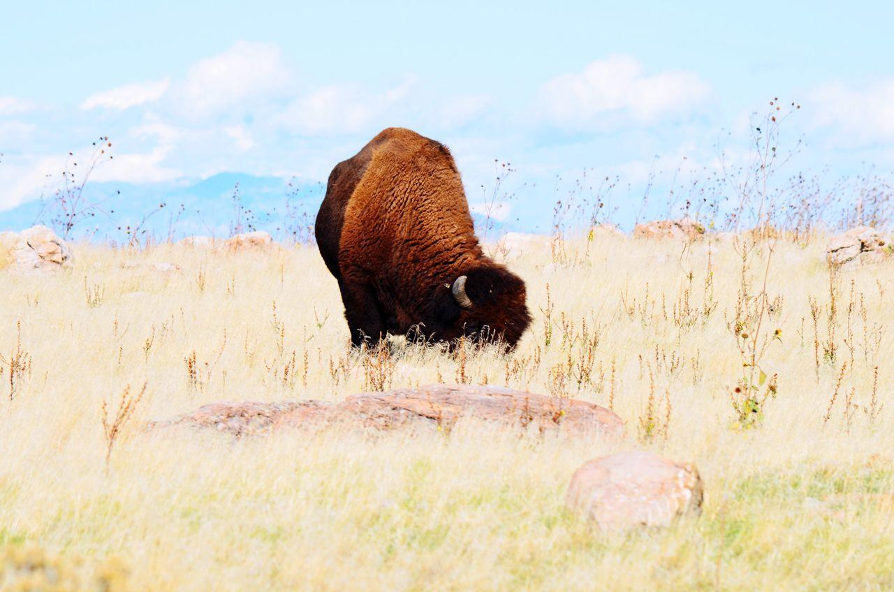 Buffalo Bison Landscape Antelopeisland