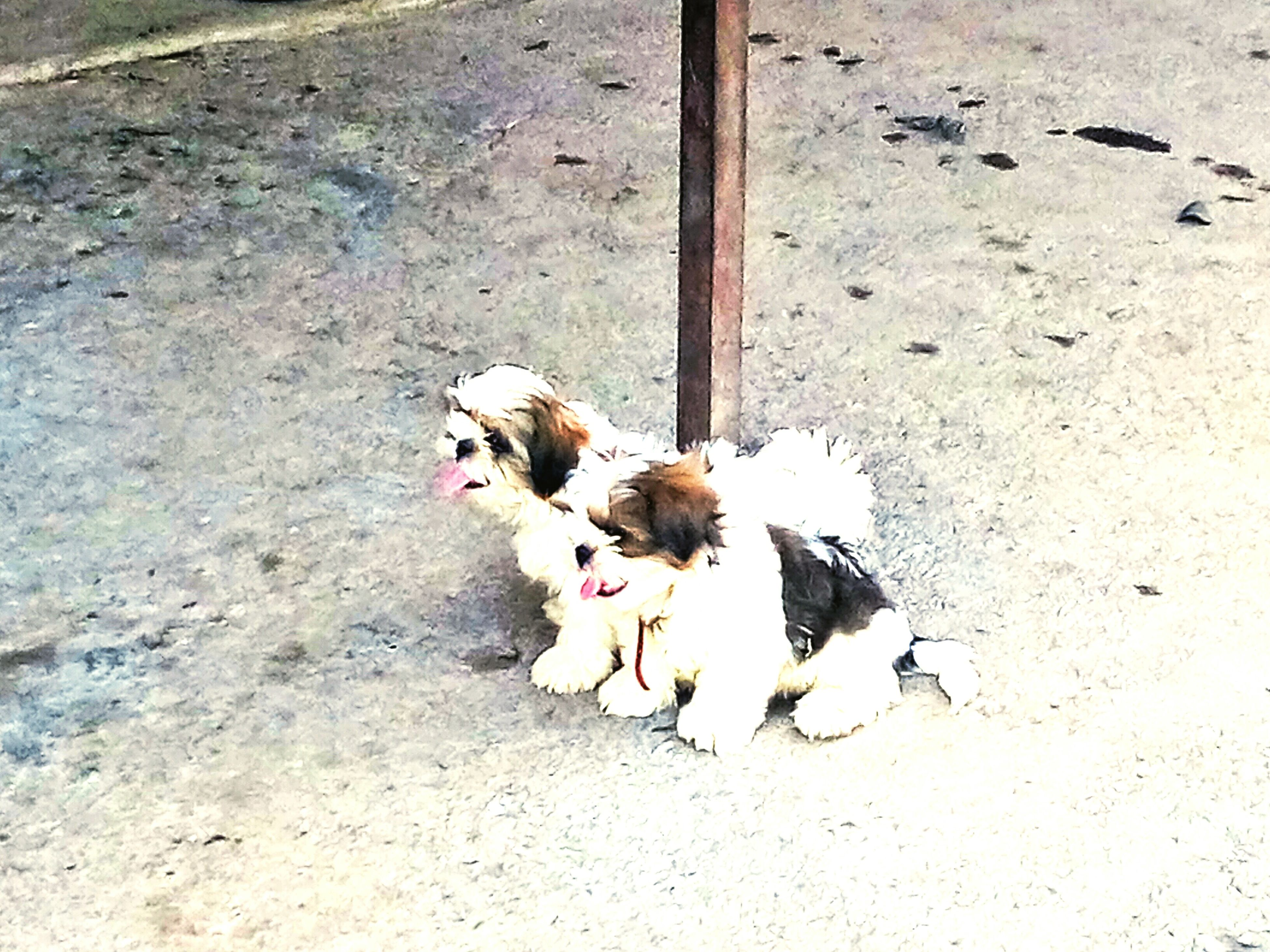 animal themes, domestic animals, dog, pets, high angle view, mammal, one animal, two animals, full length, young animal, pet leash, togetherness, zoology, day, outdoors, looking at camera, no people, street, bird, puppy