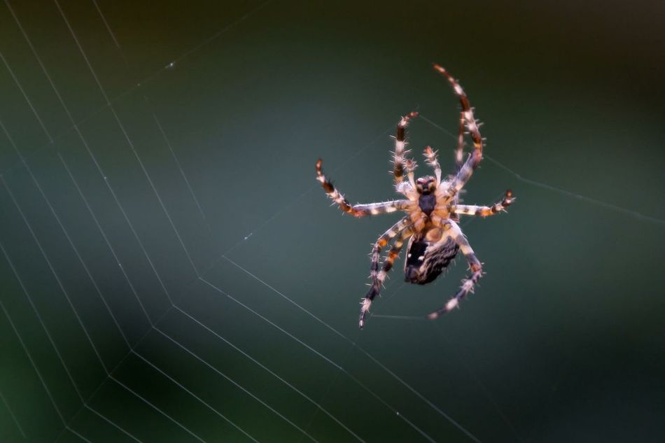 Beautiful stock photos of spider's, Animal Themes, Animals In The Wild, Close-Up, Copy Space