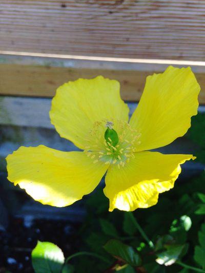 Yellow Flower Yellow Poppy Poppy Flower Flower Beauty In Nature Flower Head No People IPhoneography IPhone IPhone Photography IPhone5