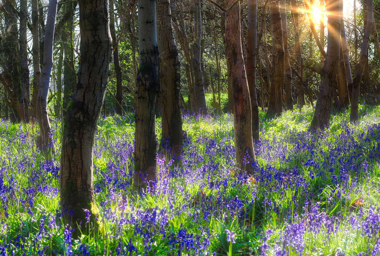 Bluebell Forest Beauty In Nature Day Flower Forest Freshness Grass Green Color Growth Landscape Lush - Description Nature No People Outdoors Plant Summer Sun Sunlight Sunset Tree Tree Area Tree Trunk Wildflower