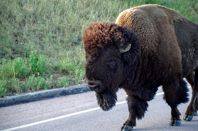 Buffalo One Animal Road Animal Themes Street Mammal Outdoors Country Road Domestic Animals Zoology Long Day South Dakota Livestock Beauty In Nature Tranquility Mountain Landscape Custer State Park