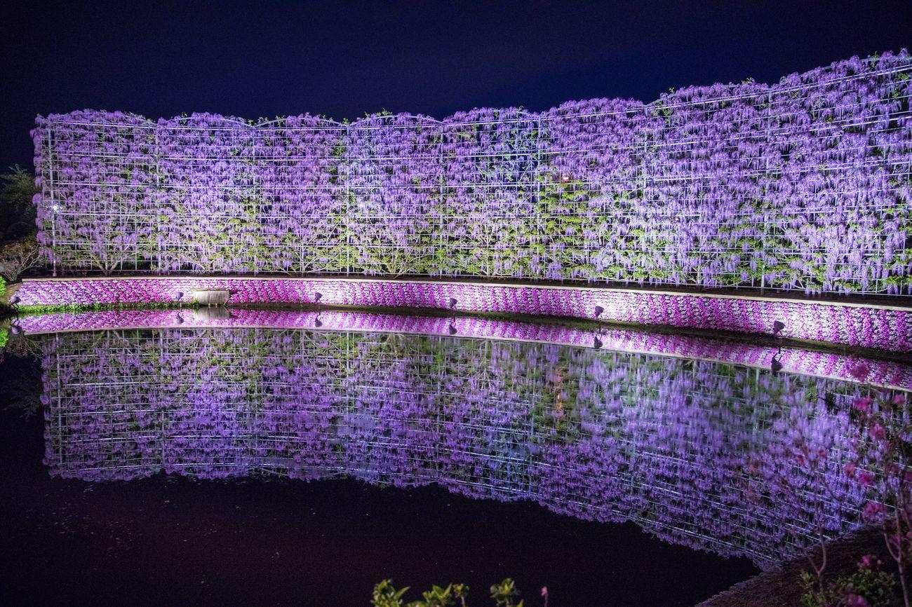 藤 反射 水面反射 花 あしかがフラワーパーク Wisteria Reflection Reflections Flower Flowers