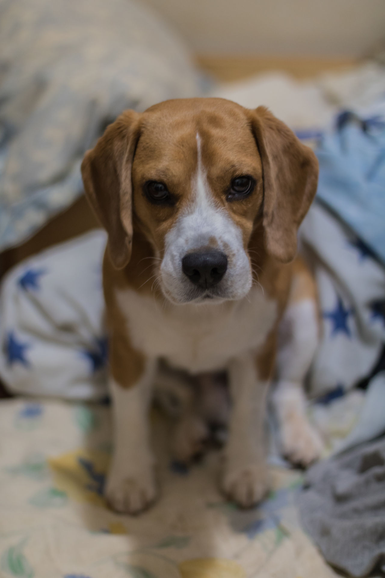 Dog Pets Animal Cute Looking At Camera Domestic Animals Beagle Portrait Young Animal One Animal No People Indoors  Friendship Pleading Animal Themes Friend Pose Atencion Look Canine Canon750D 50mm 1.4 Leasing Bed Brasília - Brazil