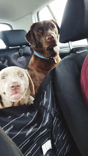 Crazydog Labrador Silverlabrador Chocolatelabrador