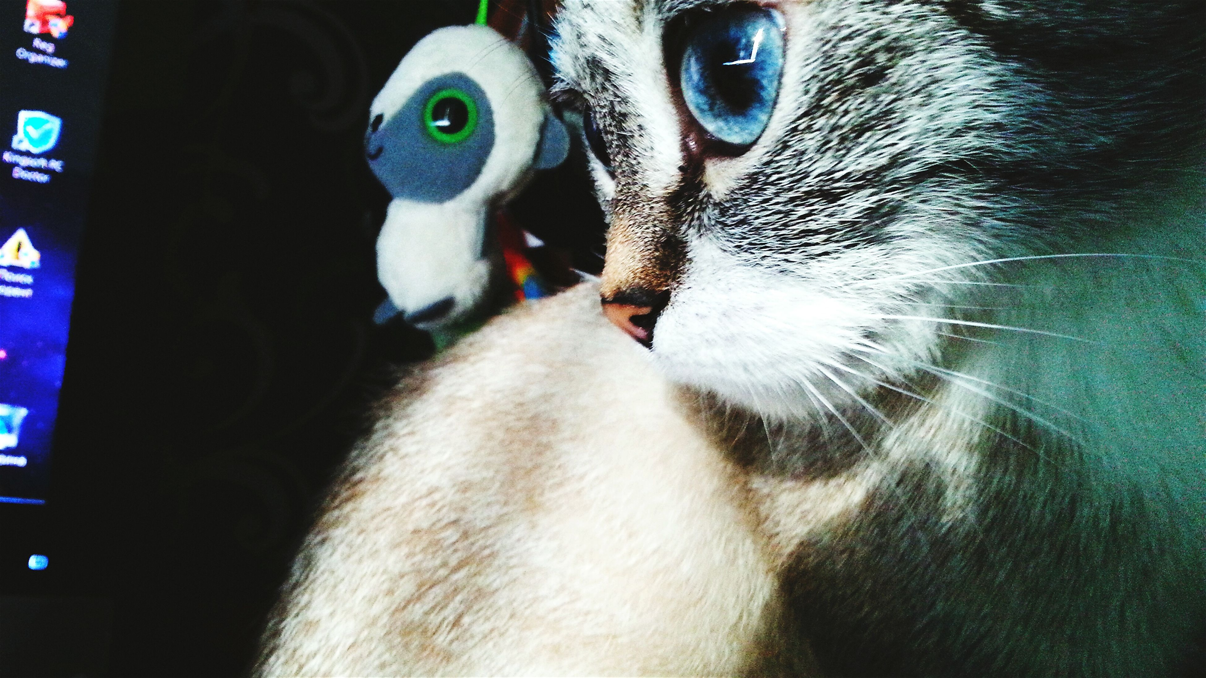 animal themes, one animal, pets, domestic animals, domestic cat, mammal, cat, indoors, feline, whisker, animal head, close-up, portrait, looking at camera, animal eye, animal body part, no people, alertness, zoology