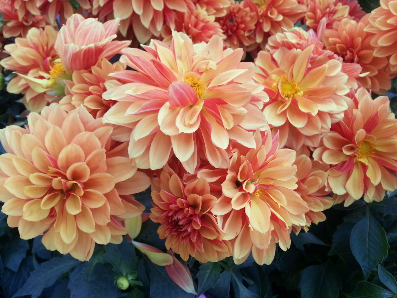 flower, petal, fragility, beauty in nature, nature, flower head, growth, freshness, plant, no people, blooming, outdoors, dahlia, day, close-up