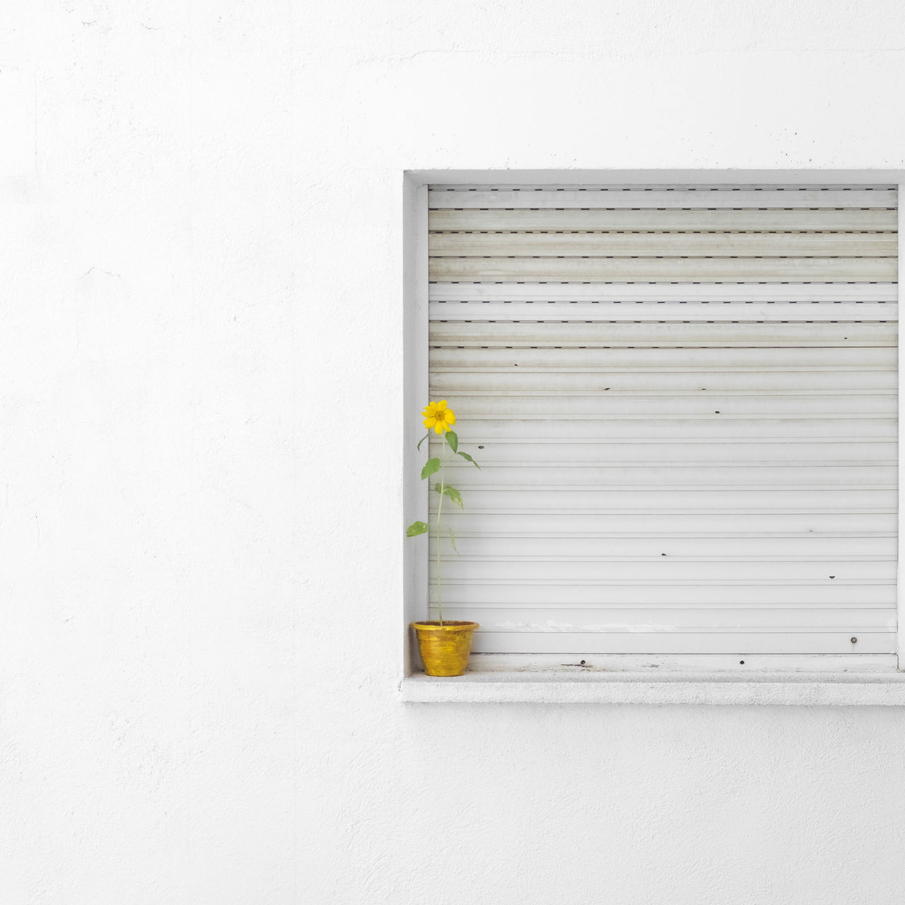 no people indoors day white background close-up window flower house shutter minimalism Architecture Quiet Moments yellow Sunflower