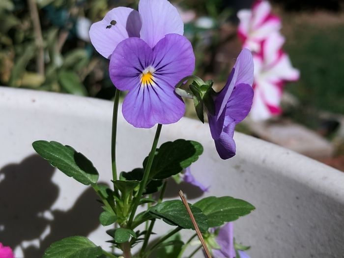 Taken during the Eclipse. The shadows are so crisp! Flower Petal Plant Purple Nature Flower Head Day Close-up Freshness Pansy No Edit/no Filter The Week On EyeEm Creative Light And Shadow Solar Eclipse 2017 Shadows And Sunlight Crisp Shadows Flower Pot EyeEm Flowers Collection Growth EyeEm No Edit No Filter