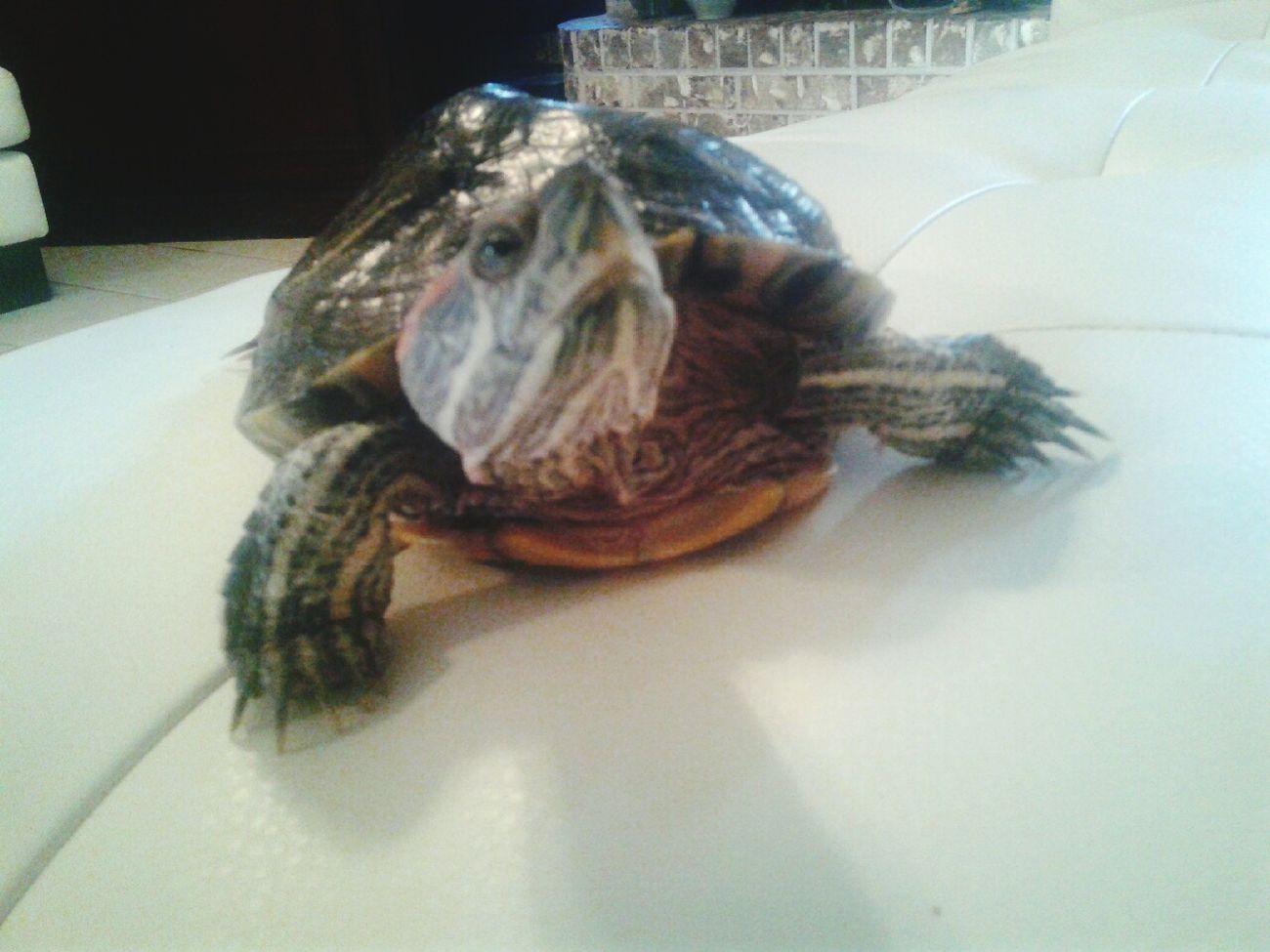 Turtlegang