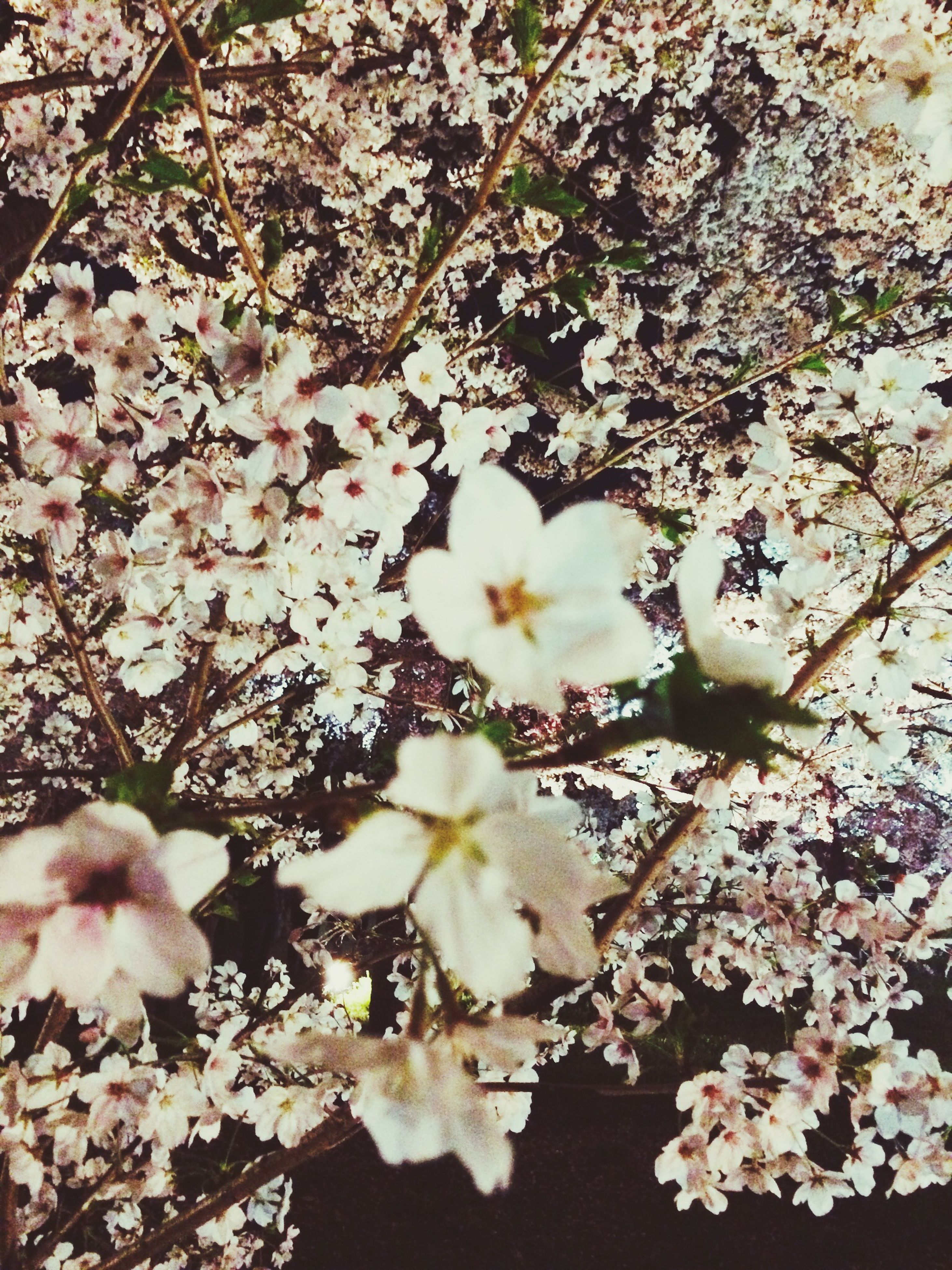 flower, freshness, growth, branch, fragility, blossom, beauty in nature, tree, petal, nature, cherry blossom, white color, in bloom, blooming, springtime, cherry tree, twig, pink color, flower head, botany