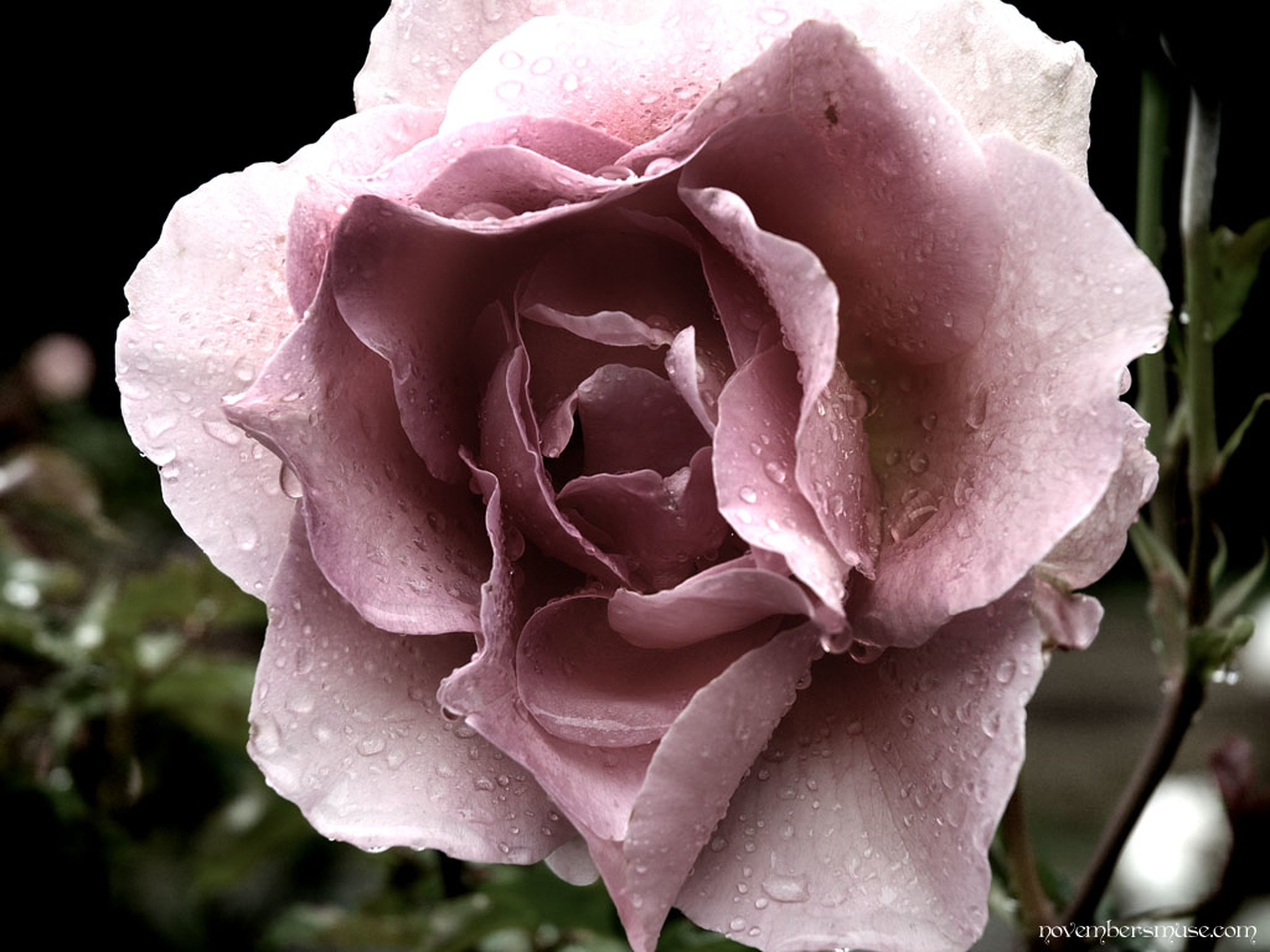 flower, petal, fragility, rose - flower, flower head, freshness, close-up, drop, beauty in nature, wet, growth, blooming, single flower, focus on foreground, nature, rose, water, in bloom, single rose, dew